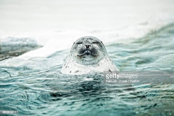 Spotted Seal Swimming In Sea