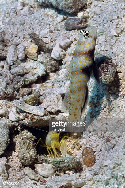 Spotted Shrimpgoby shares a burow wilth Alpheid Shrimp