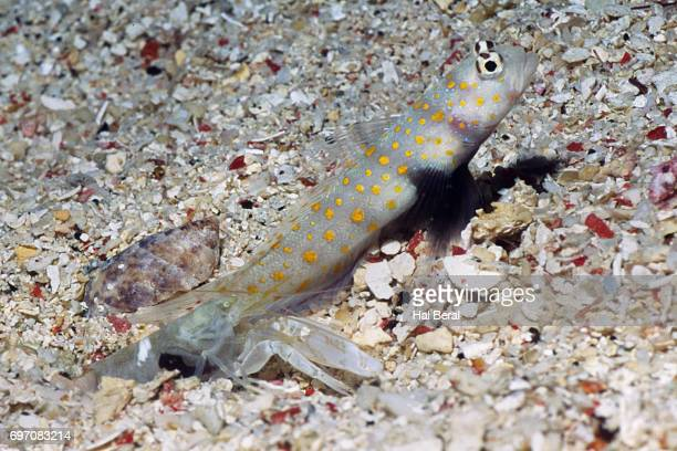 Spotted Shrimpgoby shares a burrow wilth Alpheid Shrimp