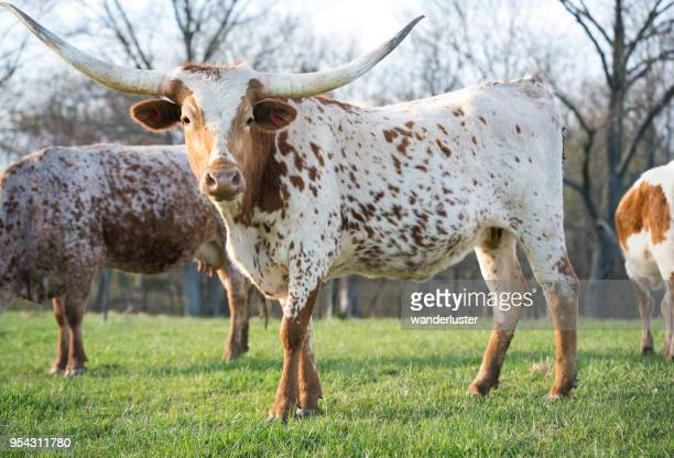 spotted texas longhorn cattle - texas longhorn cattle stock photos and pictures