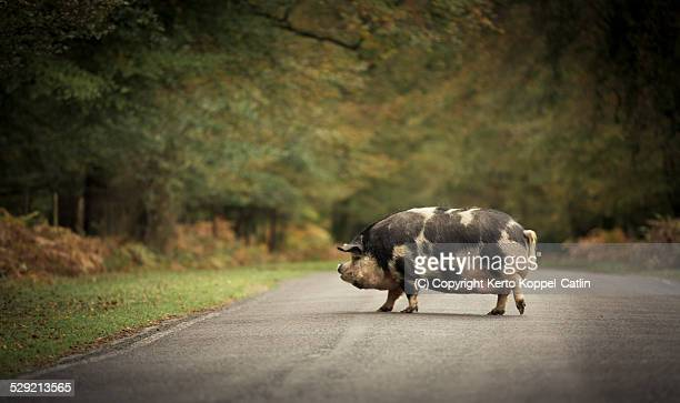 Spotted wild pig crossing road
