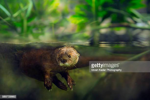 spotted-necked otter (lutra maculicollis) underwater - lontra imagens e fotografias de stock