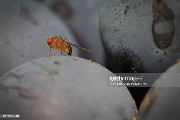 A spottedwing drosophila fly sits on a grape in the vineyard of family Mohr in Bensheim an der Bergstrasse central Germany on September 10 2014 Wine...