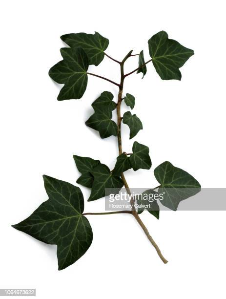 spray of ivy leaves on white background. - creeper stock pictures, royalty-free photos & images