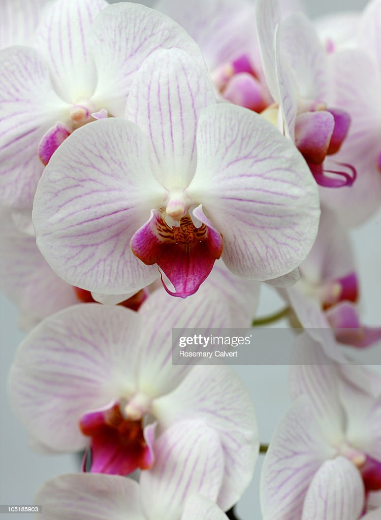 Spray of white and pink orchid flowers. : Stock Photo
