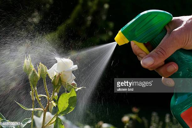 Spraying a pesticide on roses in a garden