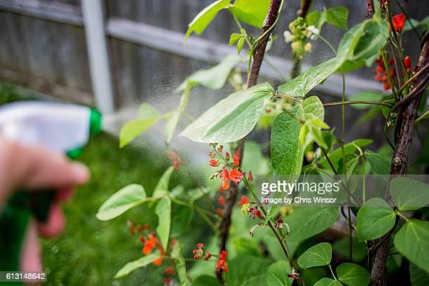 Spraying runner beans