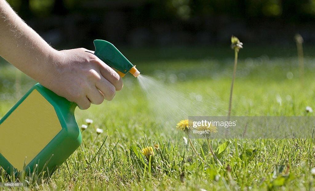 Spraying the dandelions : Stock Photo