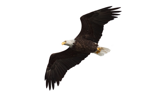 spread wing bald eagle soars across the sky 623499720
