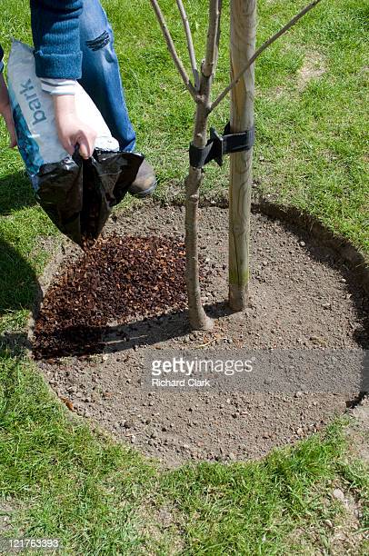 Spreading bark mulch around newly transplanted cherry tree (Prunus). Step by step, image 14 of 15