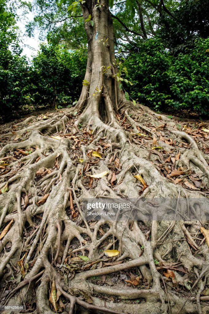Spreading roots of the Chinese Banyan, Ficus microcarpa : Stock Photo
