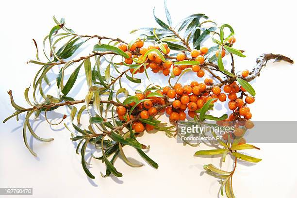 Sprig of buckthorn berries on white background