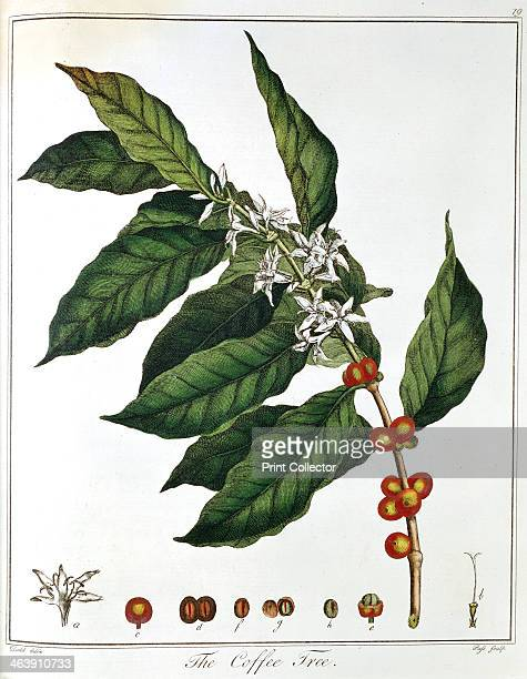 Sprig of Coffee showing flowers and beans 1798 Coffee originated in the Arab world and first appeared in Europe through Venice in c1600