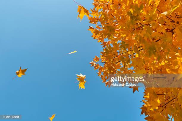 a sprig of maple with yellow autumn leaves, against a blue sky. - bicolore colore foto e immagini stock