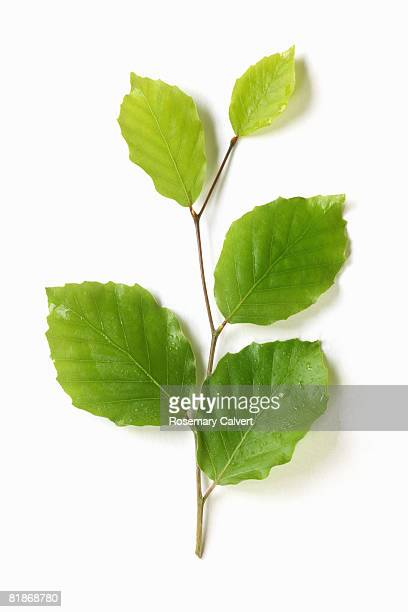 sprig of new spring beech leaves. - beech tree stock pictures, royalty-free photos & images