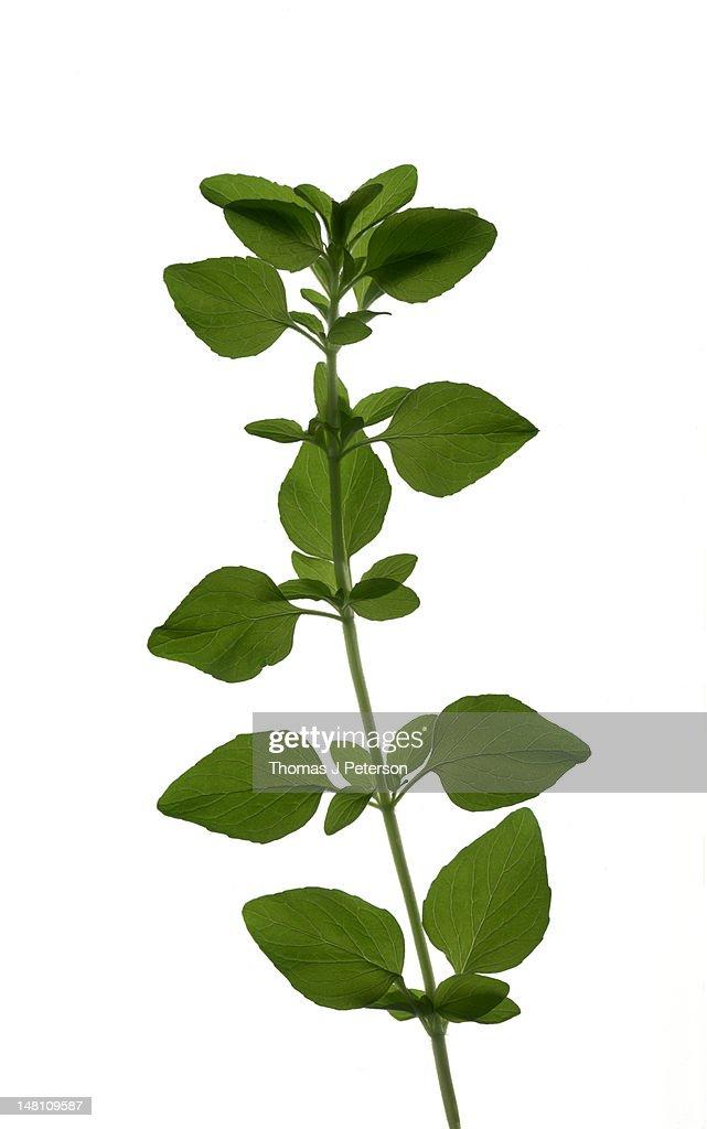 Sprig of oregano (Origanum vulgare) : Stock Photo