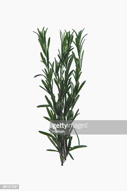 A sprig of organic rosemary on a lightbox