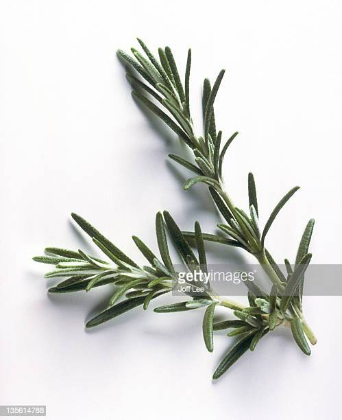 Sprig of rosemary on plain background