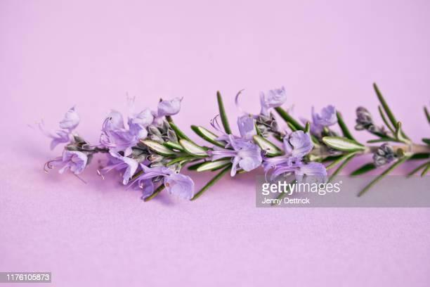 sprig of rosemary - ローズマリー ストックフォトと画像
