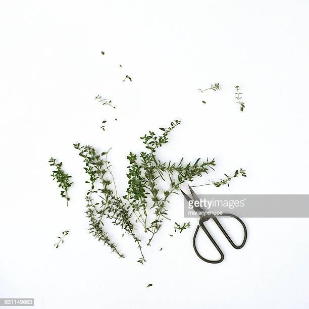 Sprigs of thyme with scissors
