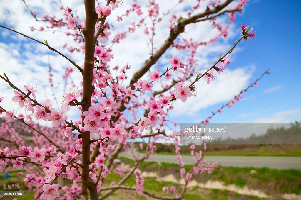 Spring almond tree flowers in Sierra de Espadan Castellon : Stock Photo