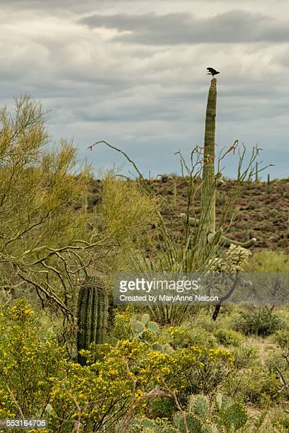 spring and a hawk in the desert - harris hawk stock photos and pictures