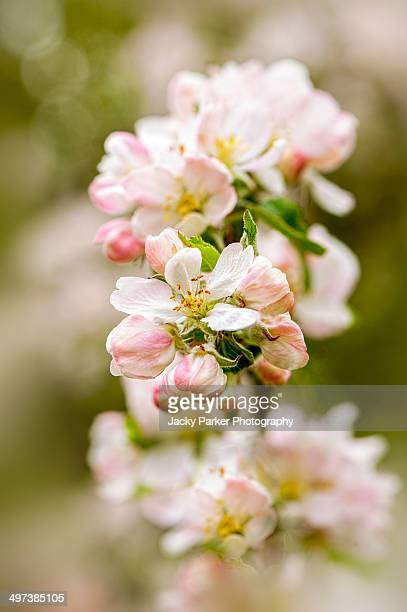 spring apple blossom flowers - crab apple tree stock pictures, royalty-free photos & images