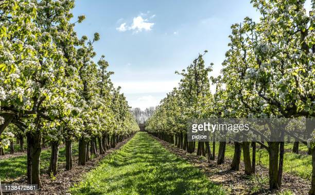 spring apple orchard - blossom stock pictures, royalty-free photos & images