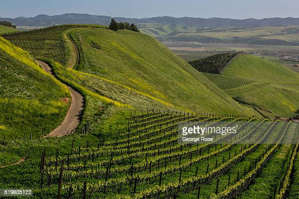 Spring arrives in a hillside pinot noir vineyard on March 24 2016 near Santa Maria California Because of its close proximity to Southern California...