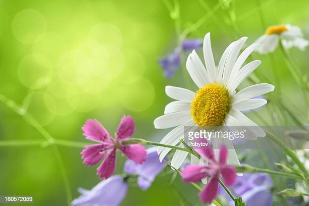 spring background - marguerite daisy stock photos and pictures