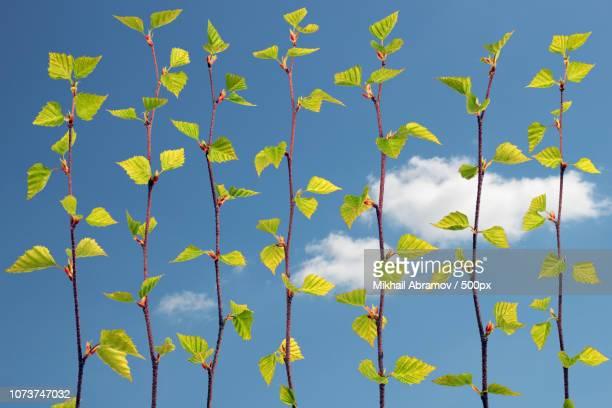 Spring birch branche