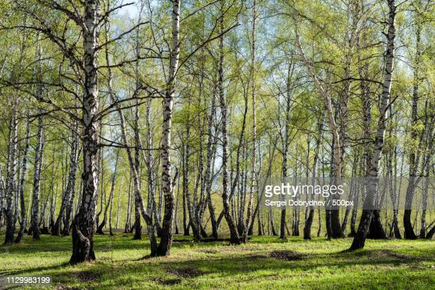 spring birch grove - sergei stock pictures, royalty-free photos & images