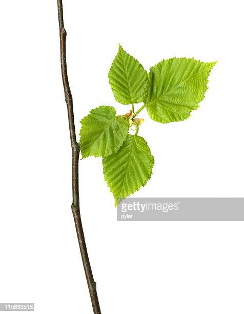 Spring Birch Blätter.