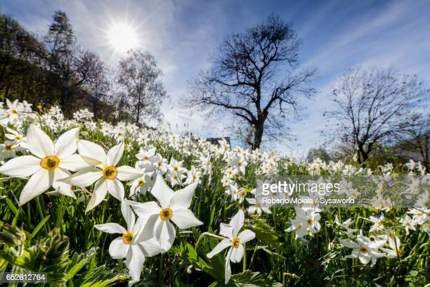spring bloom of daffodils valtellina italy - narcissus mythological character stock photos and pictures