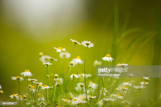 spring bloom - chamomile tea stock photos and pictures