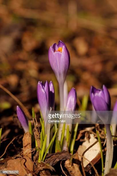 Spring Blooming Crocuses