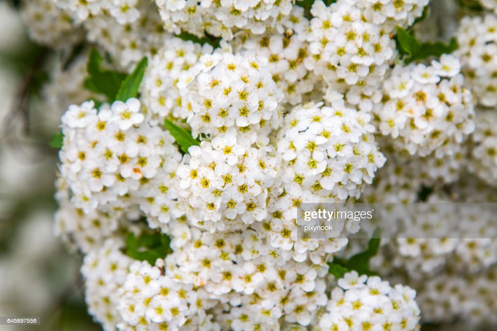 Spring Blooming Guelderrose Shrub Round White Flowers Stock Photo