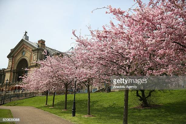 Spring blossom greets visitors at Alexandra Palace in north London England on April 12 2015