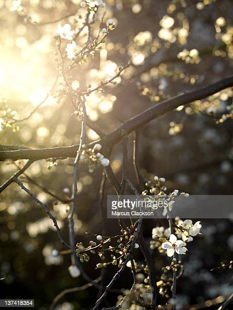 Spring Blossom in Bright Dawn Sunlight