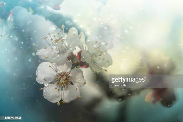 spring blossom - apricot tree stock pictures, royalty-free photos & images