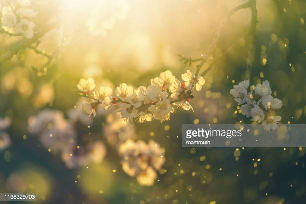 spring blossom - stamen stock pictures, royalty-free photos & images