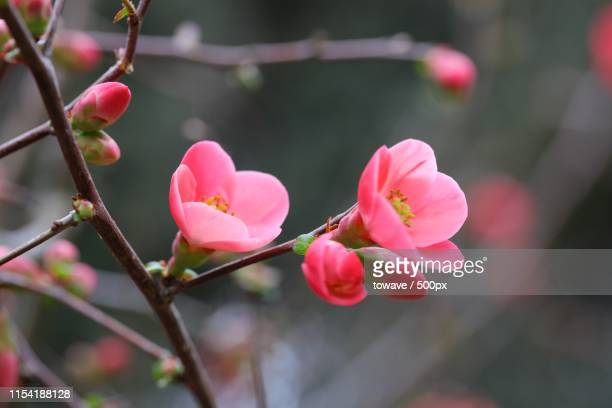 spring blossom - peach blossom stock pictures, royalty-free photos & images