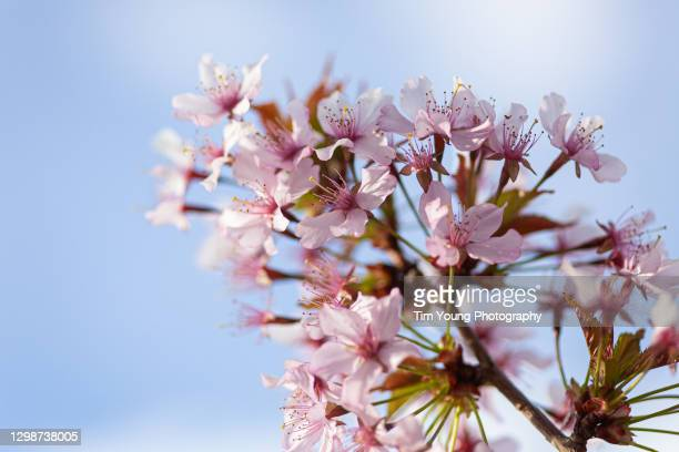 spring blossom - cherry blossom stock pictures, royalty-free photos & images