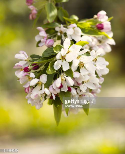 spring blossom - andrew dernie stock pictures, royalty-free photos & images
