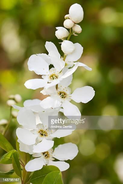 spring blossom - andrew dernie - fotografias e filmes do acervo