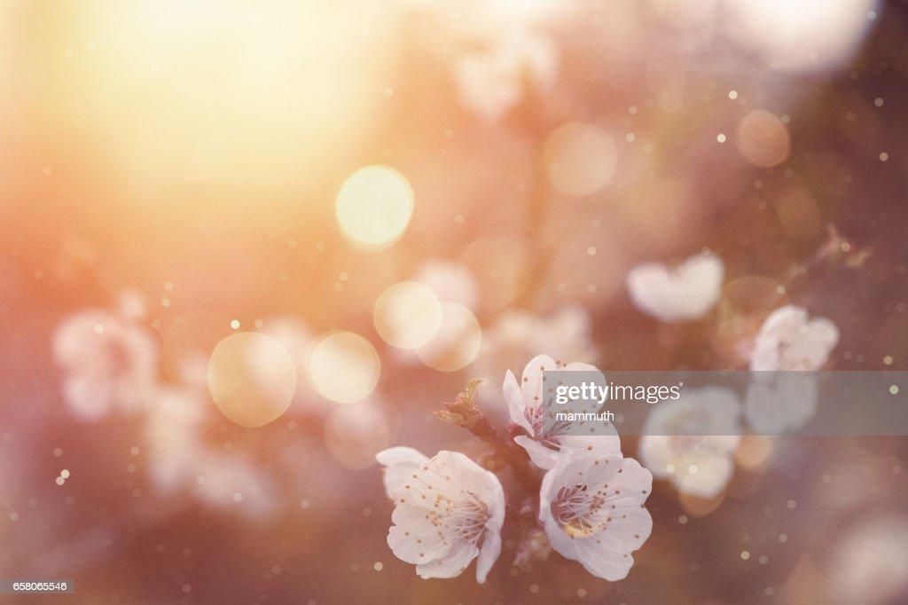 Frühlingsblüte (Spring blossom) : Stock-Foto