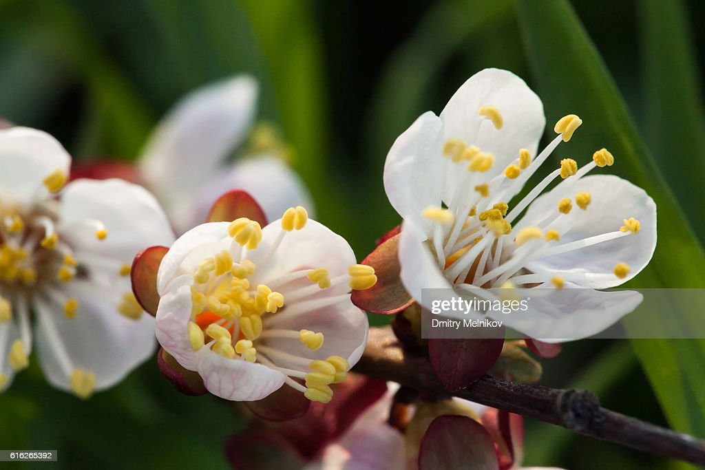 Spring blossoming of cherry. : Stock Photo