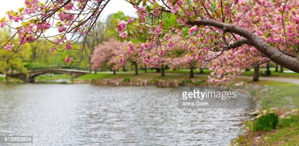 Spring blossoms along Charles River Esplanade in downtown Boston, Massachusetts