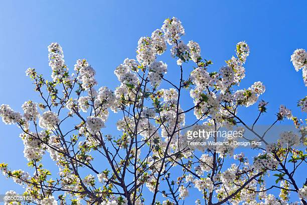 spring blossoms on a tree against a blue sky - terence waeland stock pictures, royalty-free photos & images