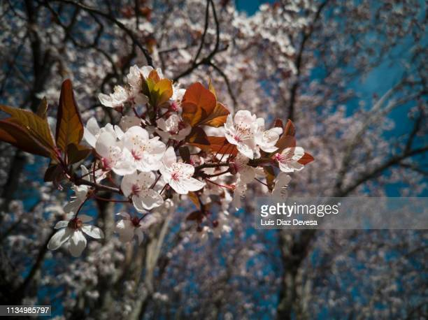 spring blossoms - calle principal calle stock pictures, royalty-free photos & images